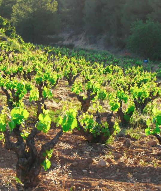 Uva Monastrell Bodegas Lavia (Vinos de Bullas - Murcia)