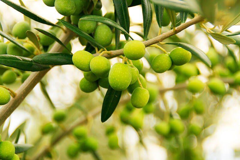distinguir producto ecologico aceite oliva