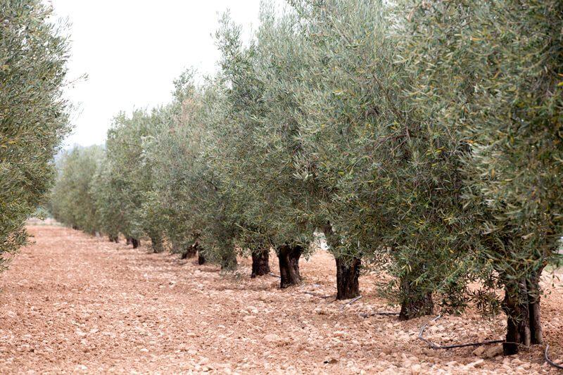 El sabor de la aceituna Arbequina