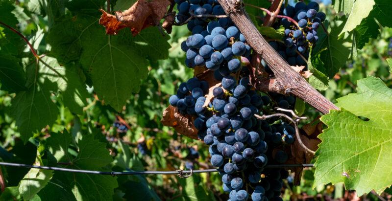 diferencias vinos ecologicos veganos